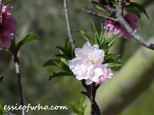 2016-peach-blossoms-7