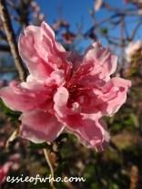 2016-peach-blossoms-9