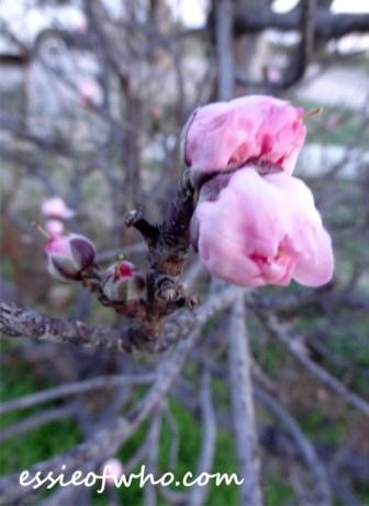 peach blossom 2017 (10)