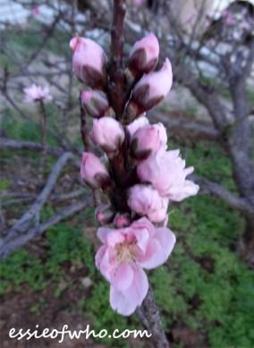 peach blossom 2017 (13)
