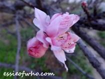 peach blossom 2017 (3)