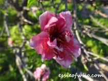 2016-peach-blossoms-12