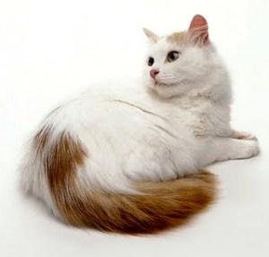 armenian van cat