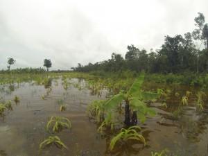 Desgracia agrícola. Sur Quintana Roo, 18 septiembre. Foto: Bruno Cárcamo.