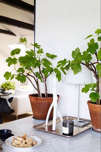 Decorar con plantas_higuera 2