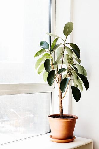 Decorar con plantas_ficus elastica