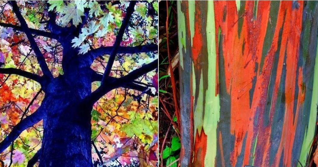 El rbol eucalipto arcoiris sinfona de colores  Plantas
