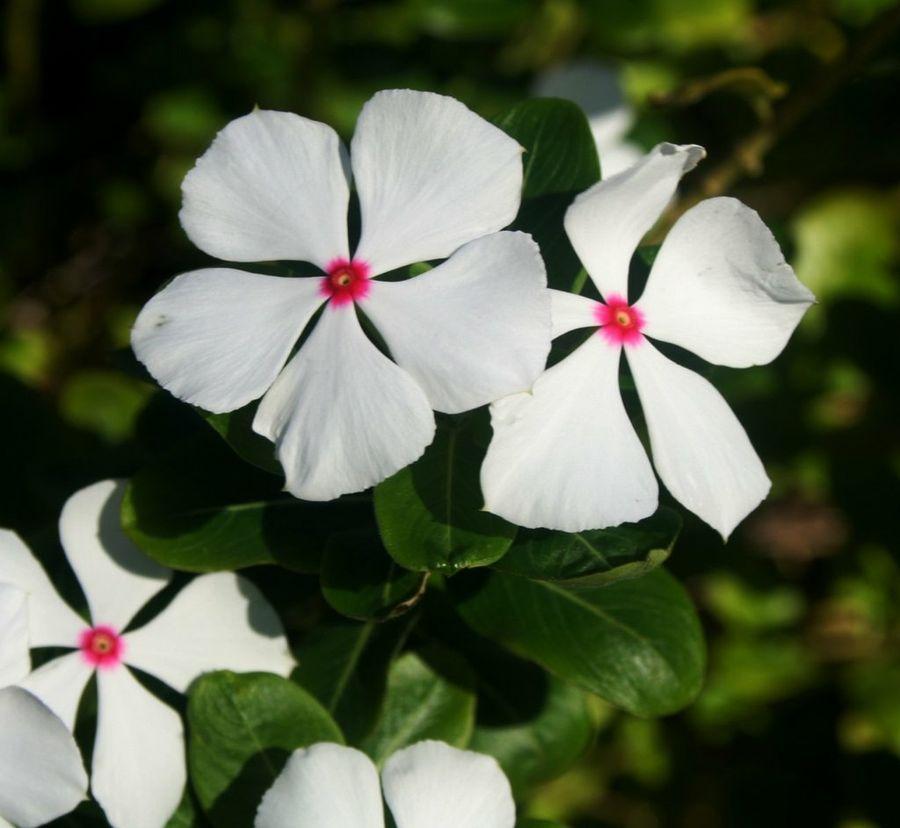 Ficha de la Catharanthus roseus  Plantas