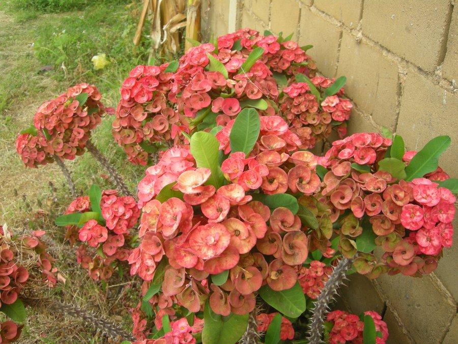 Flores de mi patio  Plantas
