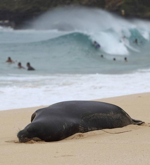 Una foca monje hawaiana descansa en una playa mientras que varias personas practican surf de fondo en la playa de Sandy, cerca de Honolulu (Hawai).