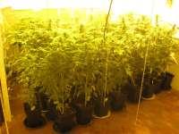 Policía descubre una plantación de marihuana en un cuarto de aperos de una finca y detiene a un hombre