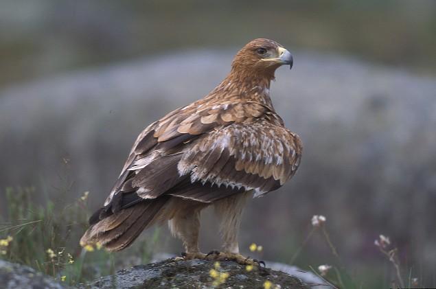 Un águila imperial. SEO BIRDLIFE