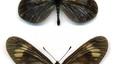 Actinote zikani. Pequeña mariposa de la familia Nymphalidae que vive en los últimos reductos selváticos (mata atlántica) del estado brasileño de Sao Paulo. Muy ligada a una planta, 'Mikania obsoleta', también amenazada. Población estimada: desconocida.