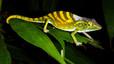 Calumma tarzan (camaleón de Tarzán). Especie de camaleón cuyos estridentes colores cambian a azul durante el cortejo. Descubierto en el 2010 y solo detectado en tres minúsculos enclaves selváticos del este de la isla de Madagascar. Amenazado por la transformación de las selvas en agricultura intensiva. Población estimada: desconocida.