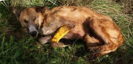 Cadáver de un perro envenenado hallado en la finca de Montcada