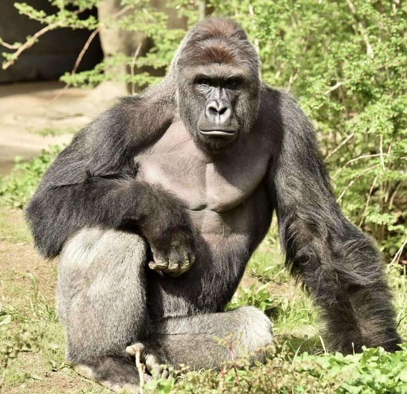 El zoo de Cincinatti mata a un gorila después de que un niño cayera en su jaula