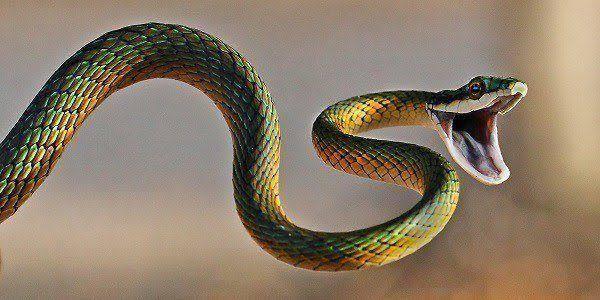 En Irlanda no hay serpientes. Descubre por qué estos dulces animales no viven allí.