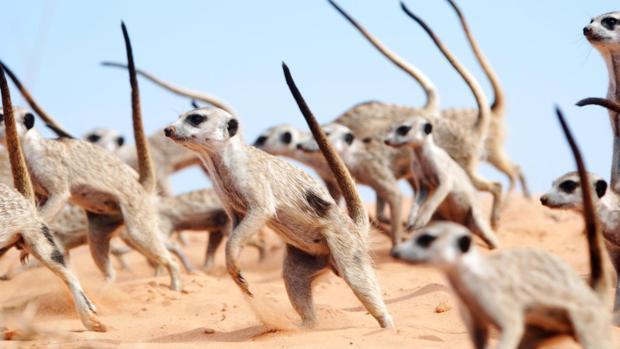 La danza de guerra suricata. Cuando Hakuna Matata no es suficiente.