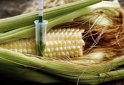 Una mazorca de maíz a la que se está realizando un test llamado Trait Bt1 para detectar si contiene la proteína Yielgard-Cry1AB contenida en la variedad MON810 del maíz transgénico de Monsanto. (AFP)