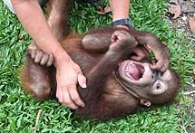 A un orangután llamado Naru le hacen cosquillas sobre la hierba. | Miriam Wessels