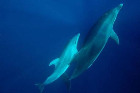 Una delfín hembra se comunica a través de silbidos con su cría.| Bruno Díaz
