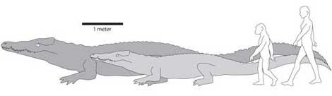 Comparativa del tamaño del cocodrilo primitivo, los ancestros humanos y nuestra especie.  Chris Brochu