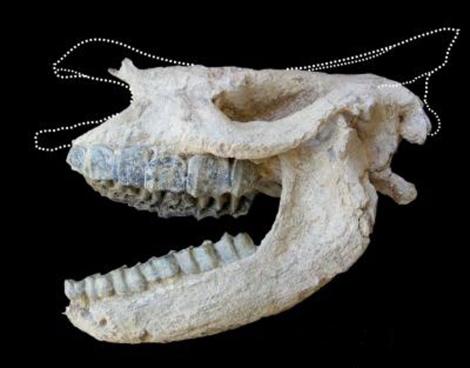 Fósil del cráneo del rinoceronte. | Antoine P-O