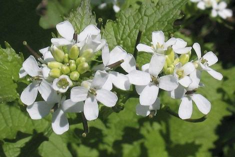 Las semillas son parecidas a las de la aliaria o hierba del ajo ('Alliaria petiolata').