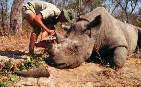 Hombre corta con una motosierra el cuerno de un rinoceronte. | WWF