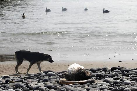 Un perro junto a un pelícano muerto en Canete.  Reuters
