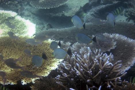 Coral blanqueado en el arrecife del norte de Sumatra. | Ap
