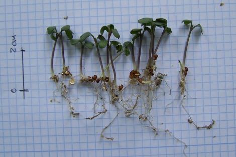 Una muestra de los brotes de brócoli germinados.   E.M.