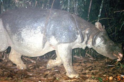 El último ejemplar del rinoceronte de Java en Vietnam. | WWF