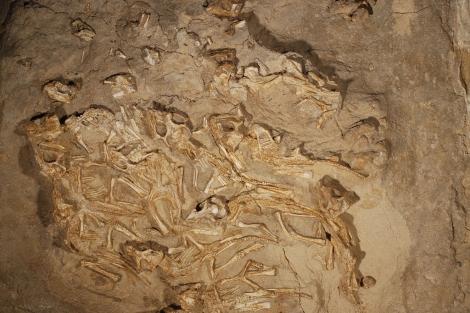 Los 15 esqueletos estaban en un nido de 2,3 metros de diámetro. | Kh. Tsogtbaatar.