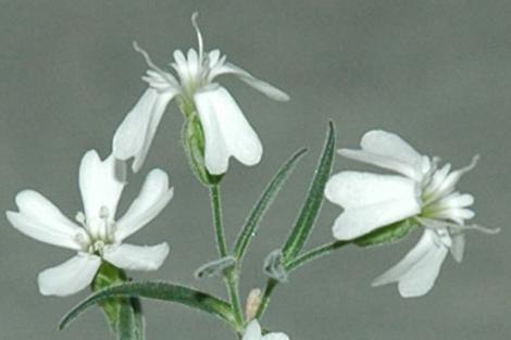 Flores de 'Silene stenophylla' de una planta obtenida con material del permafrost. | PNAS