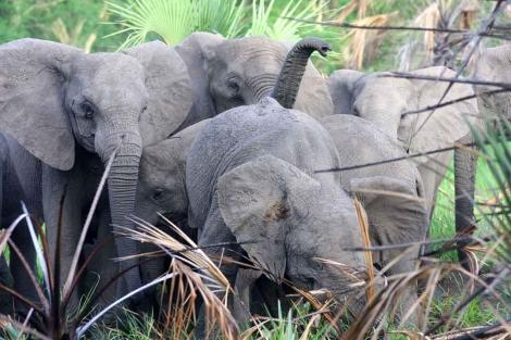 Elefantes sin cuernos o con ellos pequeños en Gorongosa. |J. Brandoli