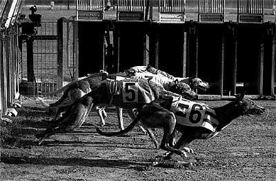 """En pleno """"sprint"""". Los perros toman la salida en pos de una liebre falsa en el Canódromo Meridiana, en 1995."""