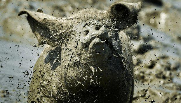 porcos_maus