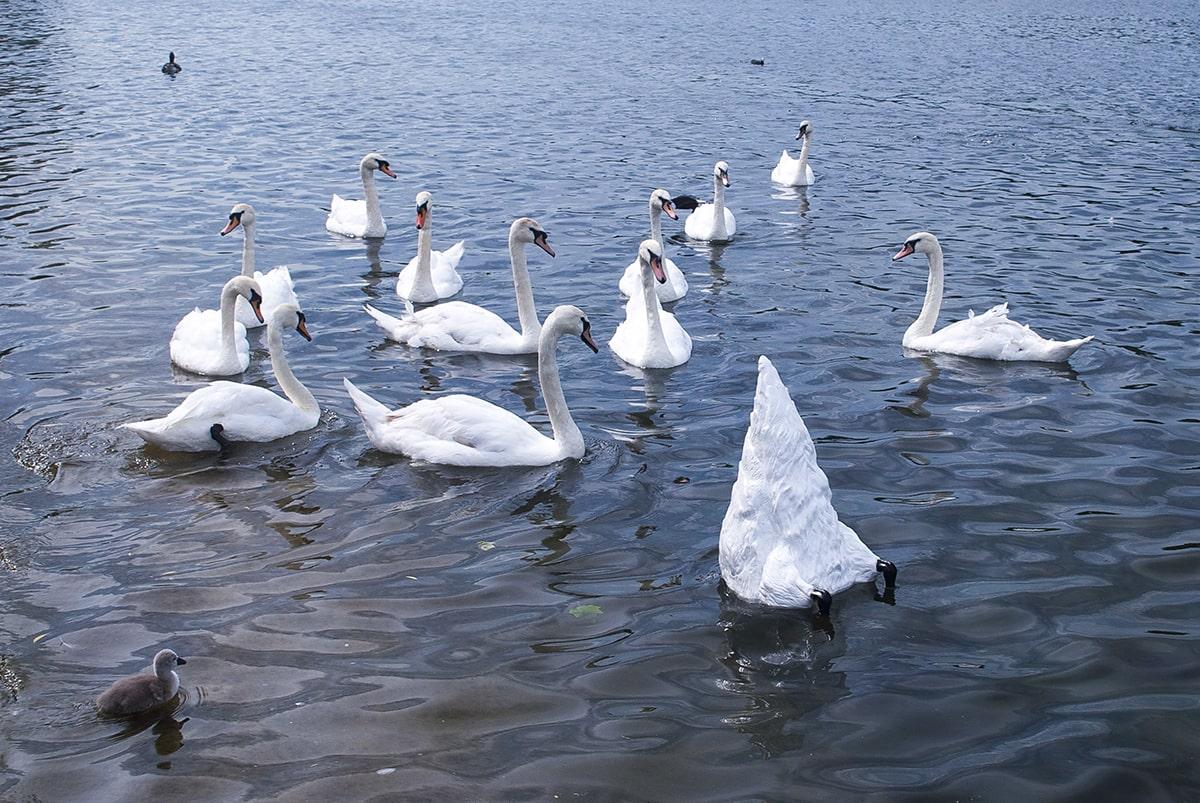 swan bottom esteban peña art