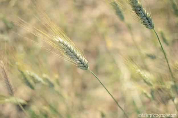 Balade champ de blé 220614 - Estelle R Photographie - Photographe Mariage et Lifestyle Haute saône, Vosges, Lorraine; Franche Comté-44
