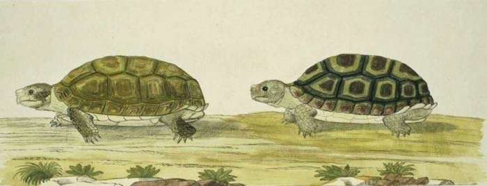 schildpadden_robert jacob gordon