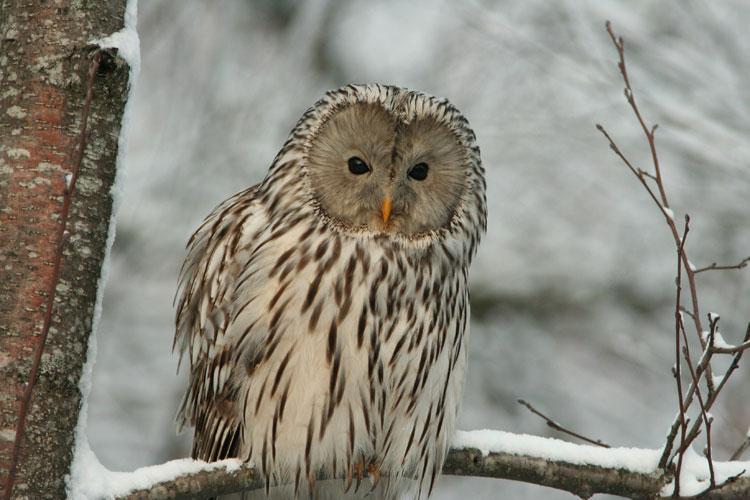 Ural-Owl-Kaarel-Kaisel
