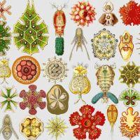 Ernst Haeckel, el zoólogo dibujante