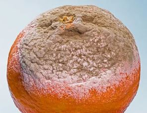 ¿Qué pasa si comemos alimentos con moho?, ¿Qué pasa si comemos alimentos con moho?