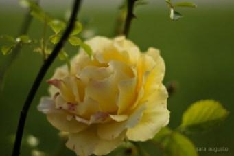 É das minhas sequências preferidas, pela cor, pela delicada volúpia que têm as rosas.
