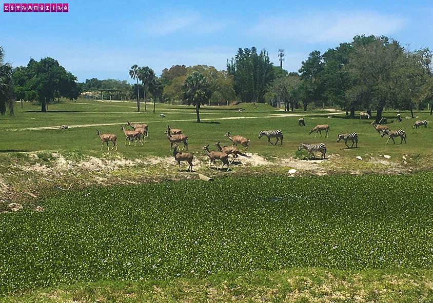 busch-gardens-tampa-zebras