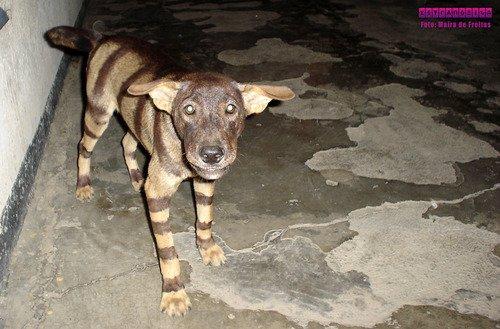 timor-leste-cachorro