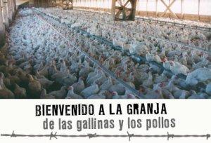 gallinas-pollos-granja-arriba