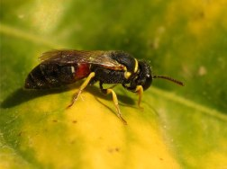 Yellow-faced_Bee_(15334189274)
