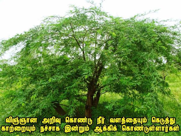 seemai Karuvel tree